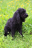 Aged Poodle sitting in a meadow