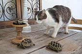 Cat looking at young greek turtles (Testudo graeca)