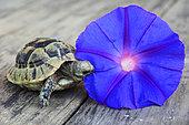 Young Spur-thighed tortoise (Testudo graeca) eating petunia flower