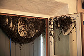 Swarm of bees in a house, France