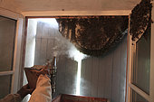 Recovery of a swarm of bees in a house, France