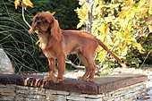Puppy cavalier king charles Spaniel standing in a garden