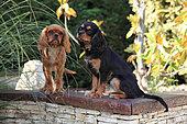 Puppies cavalier king charles Spaniel in a garden