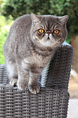 Cat exotic shorthair standing on an armchair