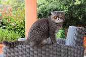 Cat exotic shorthair sitting on an armchair