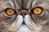 Portrait of a cat exotic shorthair