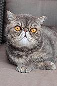 Portrait of a cat exotic shorthair