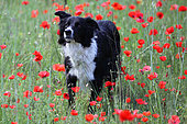 Border collie in a field of poppies in bloom