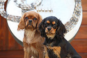 portrait of puppies cavalier king charles