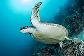 Green turtle (Chelonia mydon a reef wall off Moalboal, Philippinesas),