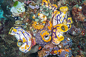 Group of ascidians on reef: Ink-spot sea squirt (Polycarpa aurata), Urn ascidian (Atriolum robustum), Tall Urn Ascidian (Didemnum molle), Urn Ascidian (Didemnum sp), off Gangga Island, North Sulawesi, Indonesia