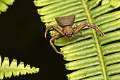 Madagascar Crab Spider (Cyriogonus sp) on a fern leaf, Andasibe (Périnet), Madagascar