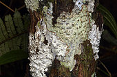 Astrothelium Lichen (Astrothelium meristosporum) Leprose lichen on tree Fern trunk, Andasibe (Périnet), Madagascar