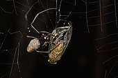 Madagascar Hermit Spider (Nephilingis livida) female on her web with prey, Andasibe (Périnet), Madagascar