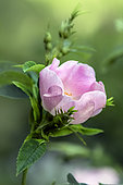 Dog rose flower (Rosa canina), detail of a flower in spring, Country lane, Lorraine, France
