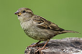 House sparrow (Passer domesticus) Female laid on a stump in spring, Country garden, Lorraine, France