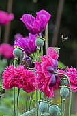 Ornamental poppy (Papaver sp) Set of Parma coloured flowers in spring, Country garden, near Toul, Lorraine, France
