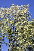 Black locust (Robinia pseudoacacia) blooming crown in spring, Forest edge, near Nancy, Lorraine, France