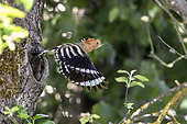 Hoopoe (Upupa epops), Flying out an adult from the nest in spring, Country garden, near Toul, Lorraine, France