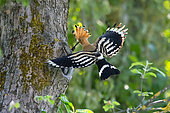 Hoopoe (Upupa epops), Adult in flight with a prey in the beak at the entrance of the nesting lodge in spring, Country garden, near Toul, Lorraine, France