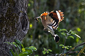 Hoopoe (Upupa epops), Adult in flight with a cricket in the beak at the entrance of the nesting lodge in spring, Against the light, Country garden, near Toul, Lorraine, France