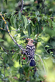 Hoopoe (Upupa epops), Adult with a larva in the beak in a cherry tree in the spring, before reaching the nest. Country garden, near Toul, Lorraine, France