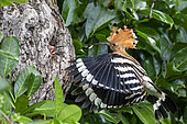 Hoopoe (Upupa epops), Flying adult feeding a young at the entrance of the nest in spring. Country garden, near Toul, Lorraine, France