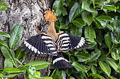 Hoopoe (Upupa epops), Adult feeding a young at the entrance of the nest in spring. Country garden, near Toul, Lorraine, France