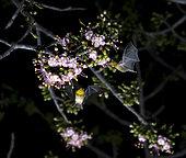 Lesser maguey bat (Leptonycteris yerbabuenae) feeding on Ceiba Pentandra flower photographed inside the Cañon del Sumidero National Park, Chiapas, Mexico.