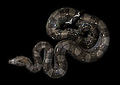 Boa imperator on a black background photographed inside the Cañon del Sumidero National Park, Chiapas, Mexico.