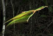 Rainette de Morelet (Agalychnis moreletii) sautant en laissant sa trace. Réserve de la biosphère d'El Ocote, Chiapas, Mexique.