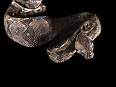 Northern boa (Boa imperator) in molting process on a black background photographed inside the Cañon del Sumidero National Park, Chiapas, Mexico.