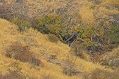 Tigre du Bengale (Panthera tigris tigris), famille en forêt sèche décidue, Parc national de Ranthambore, Rajasthan, Inde