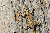 Eastern Garden lizard (Calotes versicolor) adult on a trunk warming itself in the sun while watching the sky, Northwest India