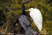 Aigrette intermédiaire (Mesophoyx intermedia) adulte perché au repos sur une branche observant, Nord-Ouest Inde