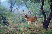 Axis deer (Axis axis) adult male velvet bird observing on the edge of trees, North-West India