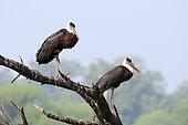 Cigogne épiscopale (Ciconia episcopus) couple adulte perché au repos sur fond de ciel le matin, Nord-Ouest Inde