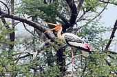 Painted Stork (Mycteria leucocephala) adult perched on a resting acacia tree, yawning, Northwest India