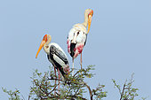 Painted Stork (Mycteria leucocephala) resting and grooming against the backdrop of the sky, Northwest India