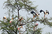 Painted Stork (Mycteria leucocephala) group perched in the colony in the evening, against the backdrop of the sky, Northwest, India