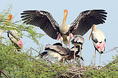 Painted Stork (Mycteria leucocephala) couple nesting near their three large young begging, against a backdrop of blue sky, Northwest, India