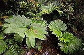 Rhubarbe géante du Chili (Gunnera manicata) en forêt tempérée humide, région des Lacs, Chili