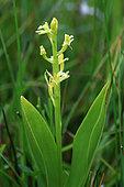 Yellow wide-lip orchid (Liparis loeselii) in bloom, Guidel, Morbihan, Bretagne, France