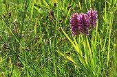 Early marsh-orchid (Dactylorhiza incarnata incarnata) in bloom, Guidel, Morbihan, Brittany, France