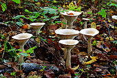 Trooping Funnel Cap (Clitocybe geotropa), Illfurth, Haut Rhin, Alsace, France