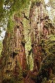 Cyprès de Patagonie (Fitzroya cupressoides) dans la forêt tempérée humide, Carretera Austral, Parc de Pumalín, Chaitén, Region de los Lagos, Patagonie, Chili