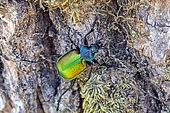 Forest Caterpillar Hunter (Calosoma sycophanta) on the trunk of an oak tree in early summer, Deciduous forest around Champenoux, Lorraine, France