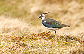 Lapwing (Vanellus vanellus), near its nest in a moor, Scotland