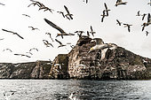 Northern Gannet (Morus bassanus), flying in a group near their colony on the island of Noss in the Shetlands.