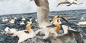 Fou de Bassan (Morus bassanus) pêchant à proximité de leur colonie sur l'ile de Noss aux Shetlands